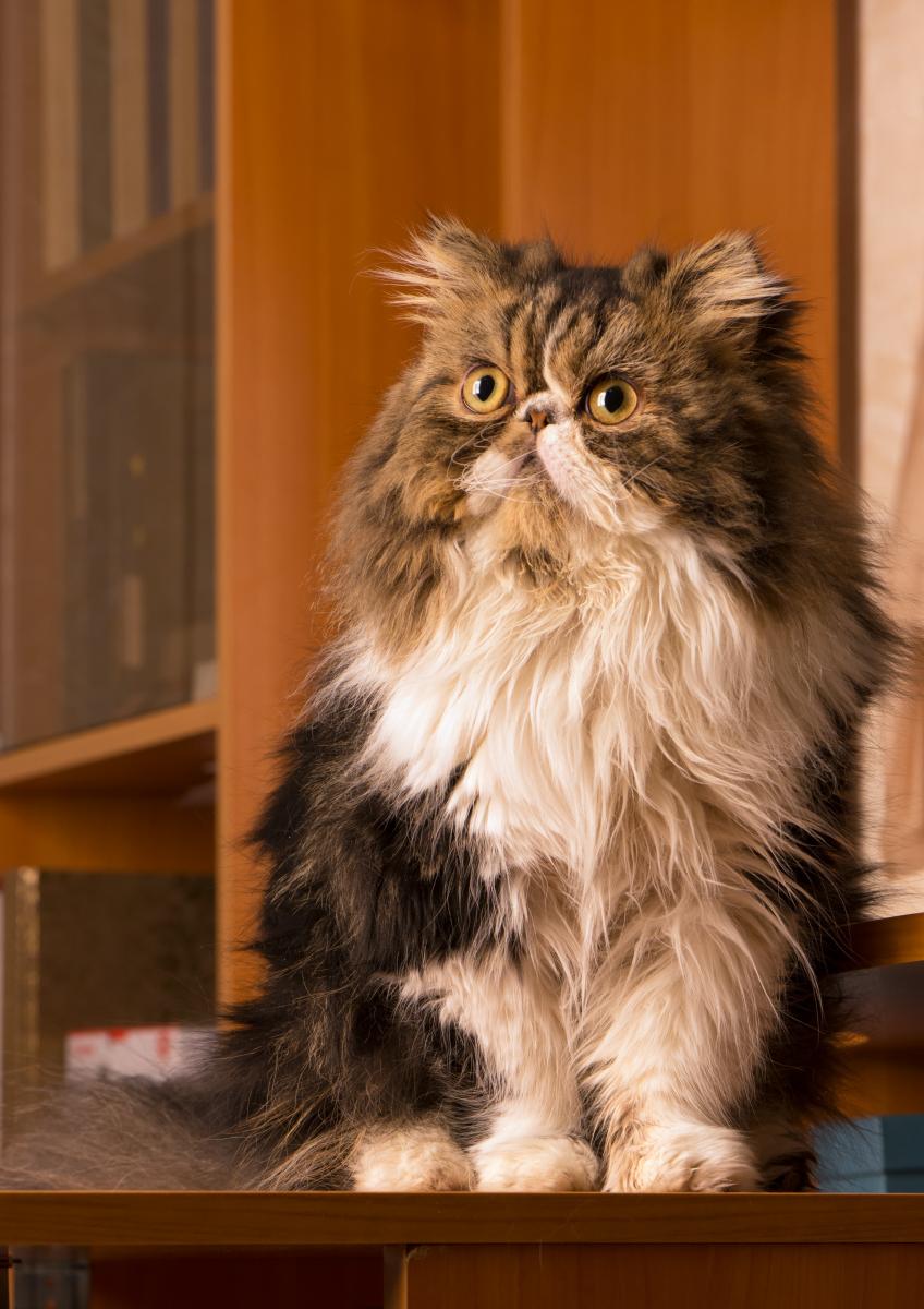 Фотография персидского котенка работы фотографа Анатолия Тимофеева