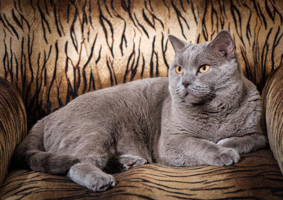 Фотография взрослого британского кота работы фотографа Анатолия Тимофеева