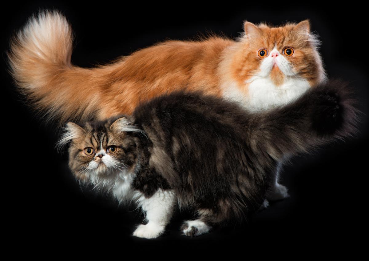 Персидские коты фотографа Анатолия Тимофеева